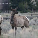A Curious Elk