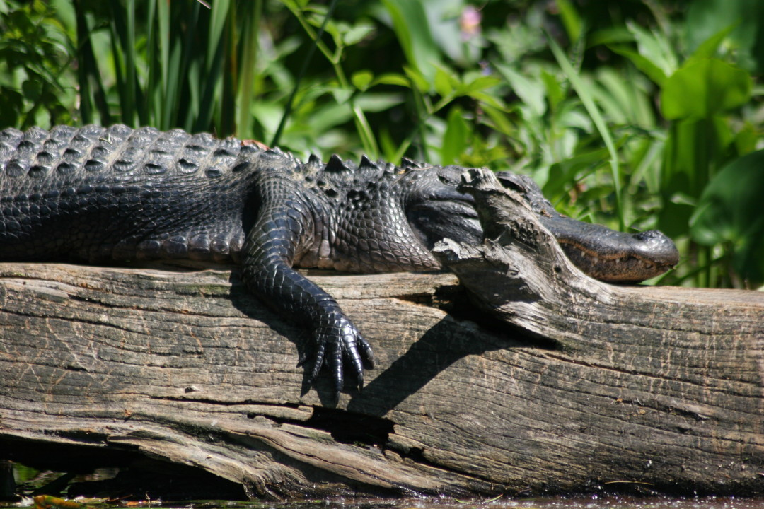 Suntanning Alligator