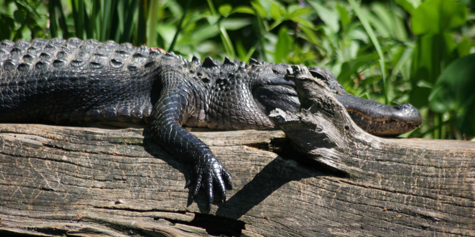 Suntanning Alligator