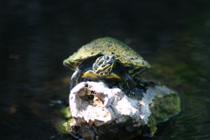 Medium Sized Slider Turtle